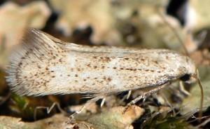 Elachista lugdunensis 2