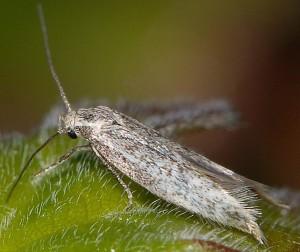 Elachista maculosella 2
