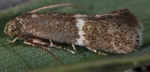 Elachista metella 06