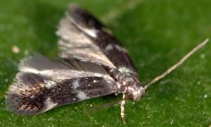 Elachista nobilella 2