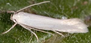 Elachista nuraghella 2
