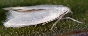 Elachista nuraghella 3