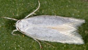 Elachista nuraghella 4