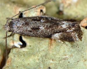 Elachista occidentalis 2