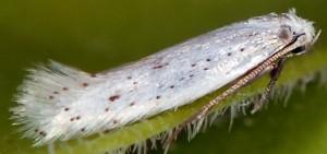Elachista parvula 4