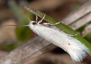 Elachista parvula 5