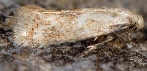 Elachista squamosella 5