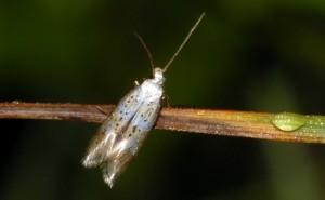 Elachista subocellea 4