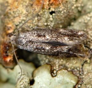 Elachista tetragonella 5