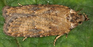 Exaeretia lutosella