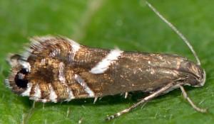 Glyphipterix forsterella 13 1