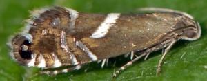 Glyphipterix forsterella 13 2