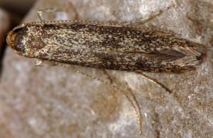 Haplochrois buvati 4