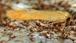Haplochrois ochraceella 3