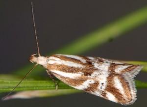 Orophia denisella 1