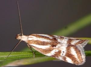 Orophia denisella 2