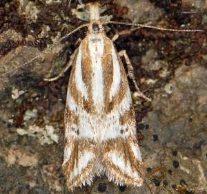 Orophia denisella 3