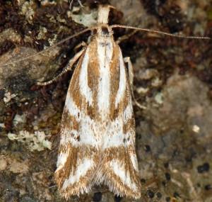 Orophia denisella 4