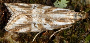 Orophia denisella 5