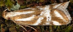 Orophia denisella 6