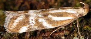 Orophia denisella 7
