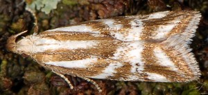 Orophia denisella 8