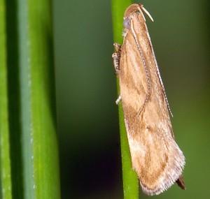 Orophia ferrugella 1