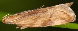 Orophia ferrugella 2