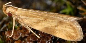 Orophia ferrugella 3
