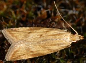 Orophia ferrugella 4