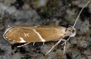 Orophia sordidella 1