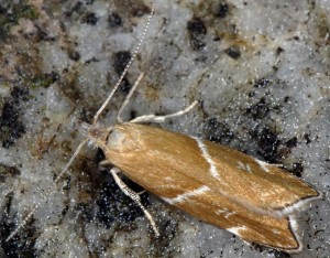 Orophia sordidella 2