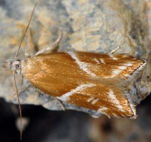 Orophia sordidella 3