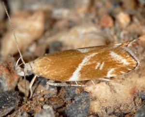 Orophia sordidella 4