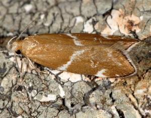 Orophia sordidella 5