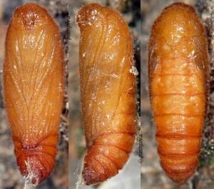 Orophia sordidella p