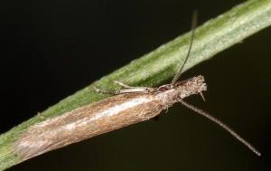 Pleurota castagniccia 2