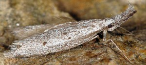 Pleurota gallicella 2
