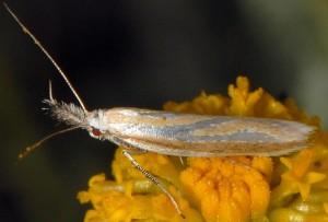 Pleurota honorella 5