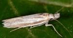 Pleurota pyropella semicanella (I)