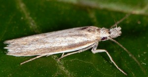 Pleurota pyropella semicanella 2