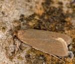 Acompsia cinerella (I)