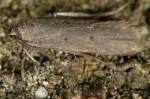 Acompsia delmastroella (I)