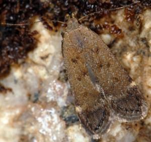 Anacampsis scintillella 3