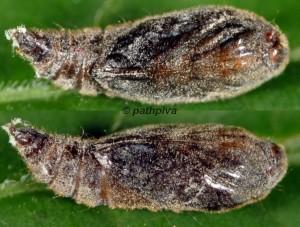 Anacampsis scintillella p