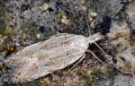 Anarsia bilbainella (I)