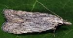 Anarsia leberonella (I)