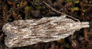 Anarsia lineatella 1