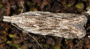 Anarsia lineatella 2
