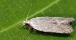 Anarsia spartiella (I)